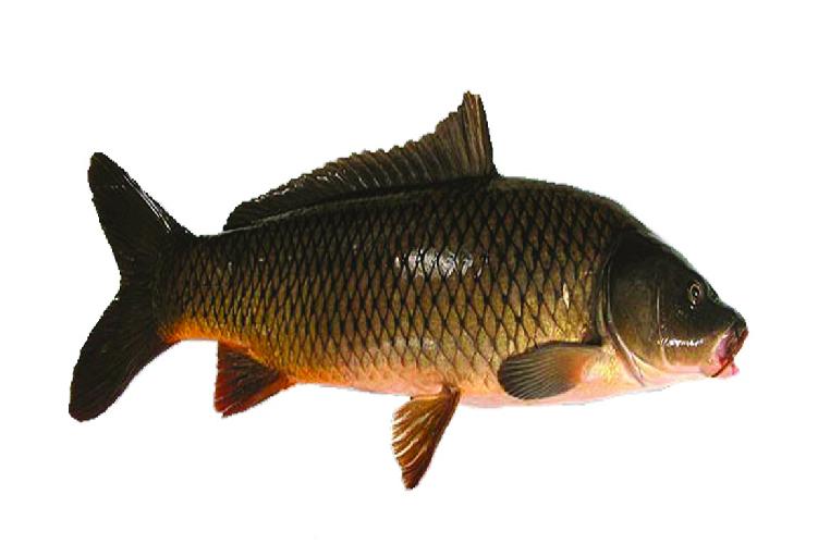 Mơ thấy cá chép