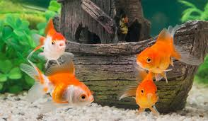 Chiêm bao ngủ mơ thấy cá vàng đánh con gì trúng rực rỡ?