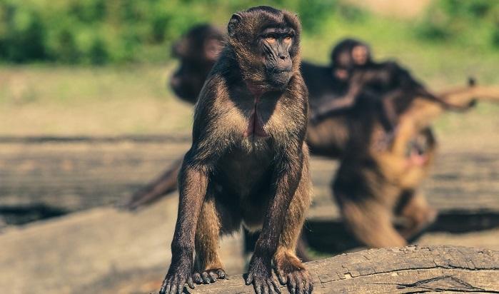 Mơ thấy khỉ là điềm báo lành hay dữ? Nên làm gì khi mơ thấy khỉ