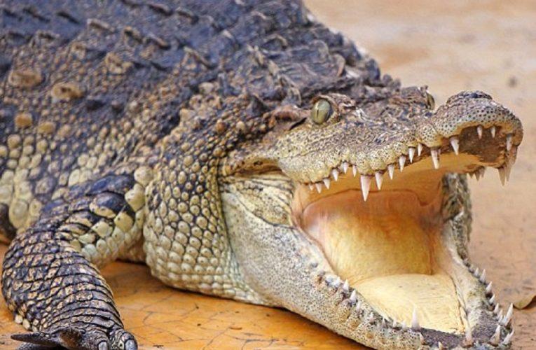 Mơ thấy giết chết một con cá sấu là điềm báo gì? Tốt hay xấu?