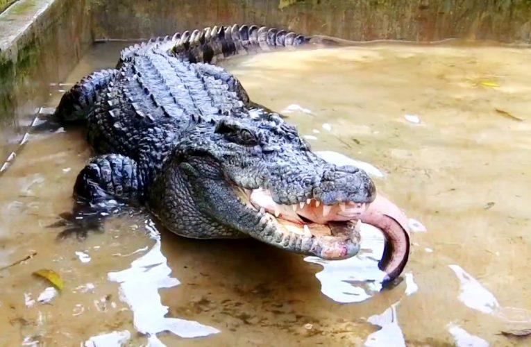Nằm mơ thấy cá sấu: Giấc mơ tiềm ẩn sức mạnh vô biên