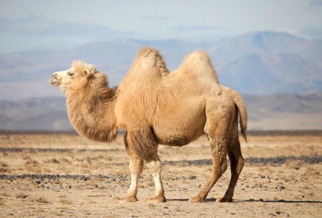 Nằm mơ thấy con lạc đà đánh con gì? Có điềm báo gì?